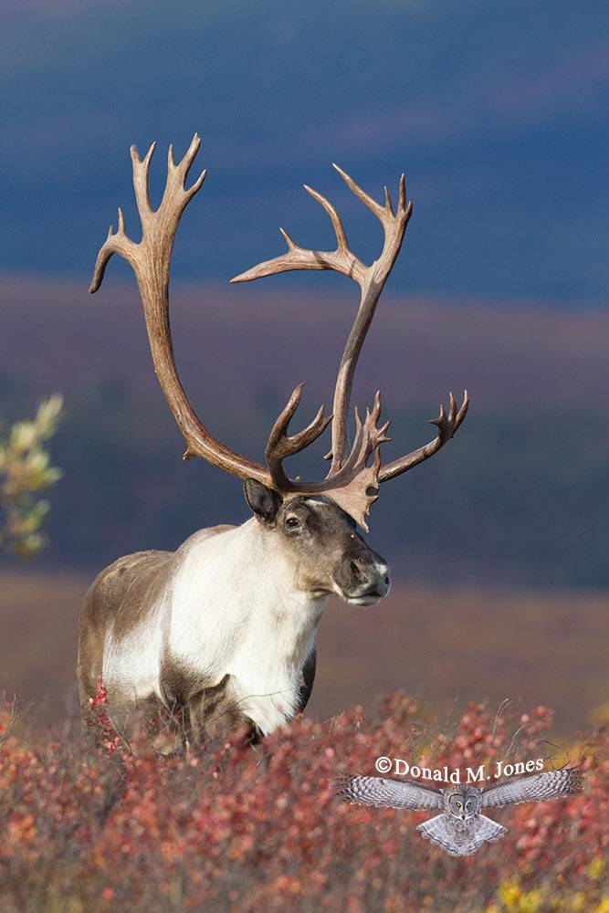 Barren-Ground-Caribou02263D