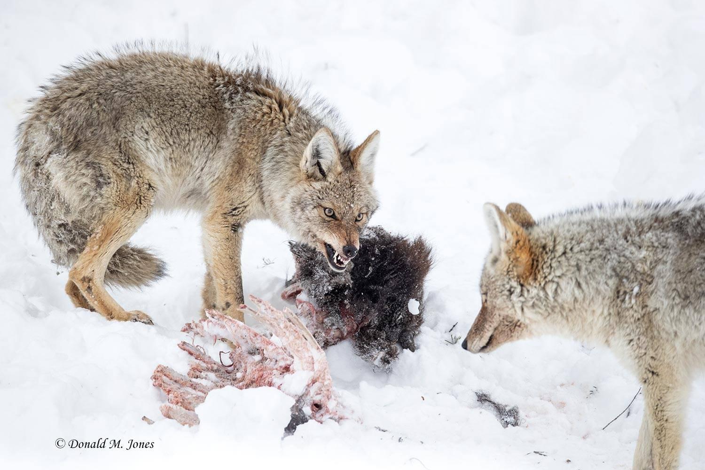 Coyote2736D