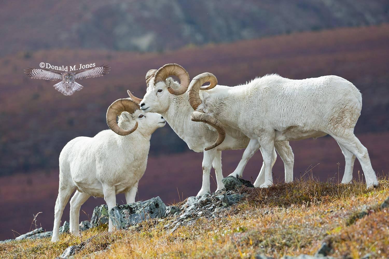 Dall-Sheep01759D