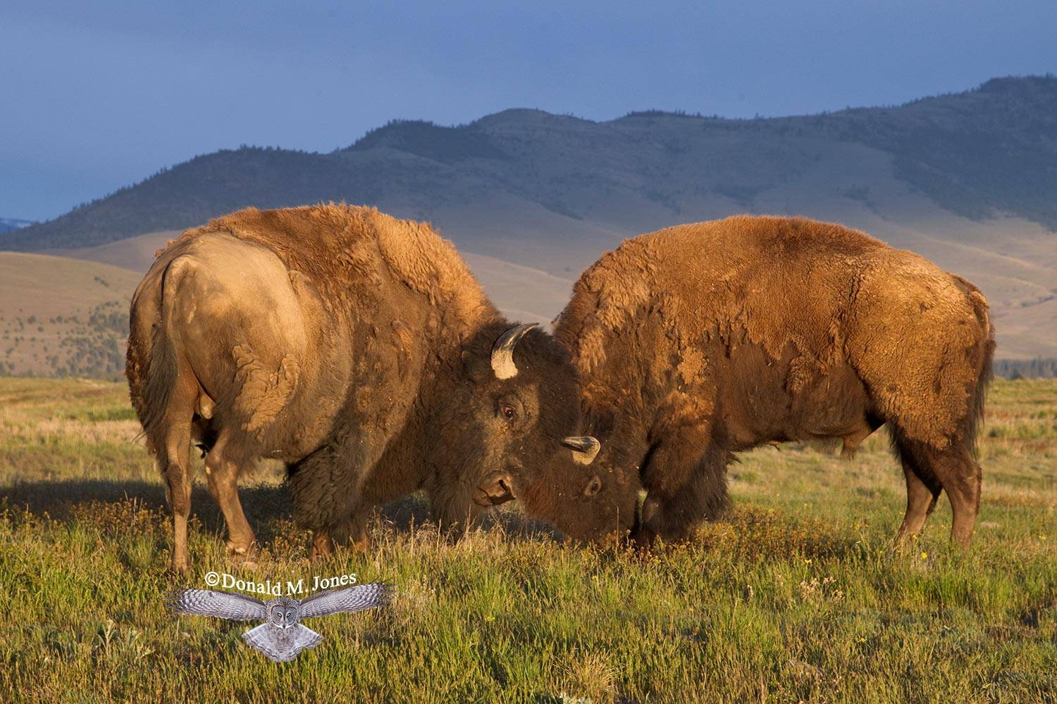 American-Bison01245D