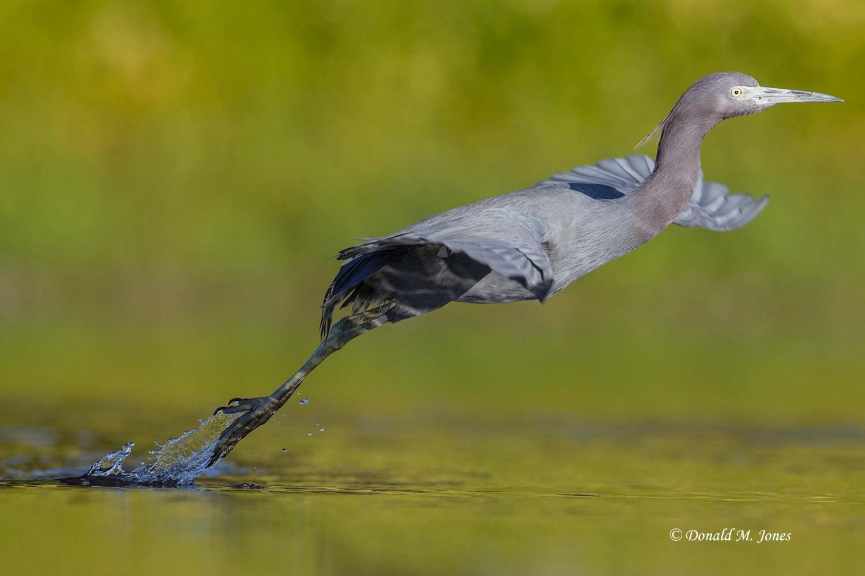 Little-Blue-Heron0130D