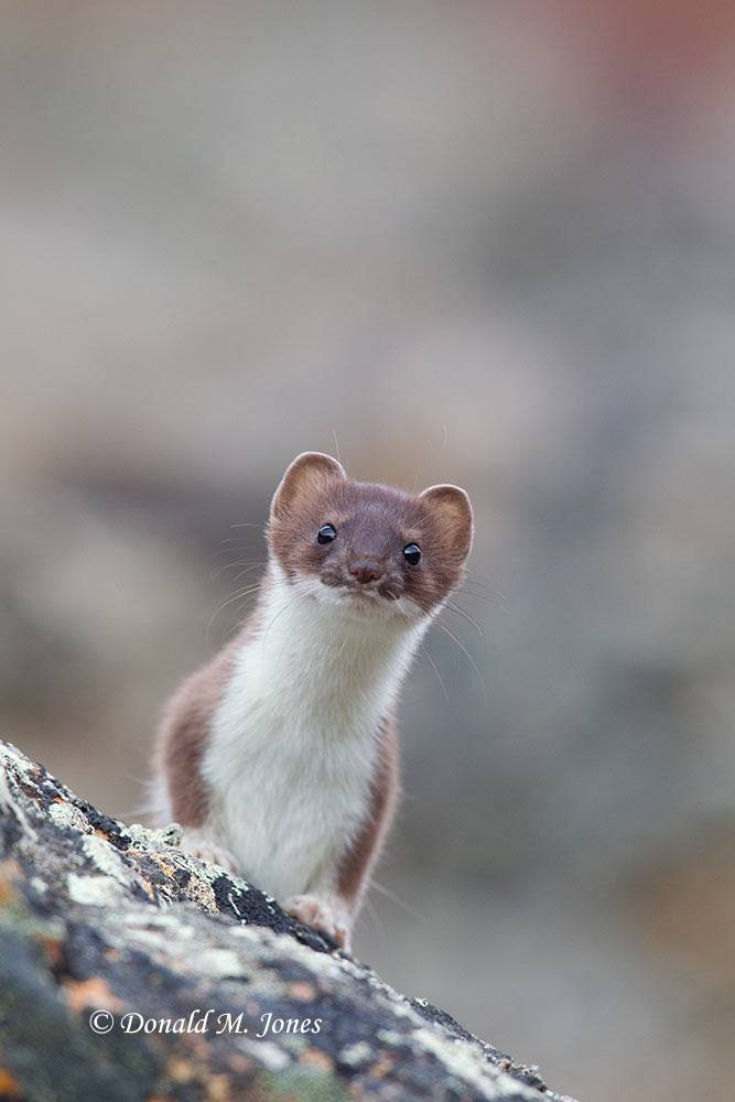 Short-tailed-Weasel0104D