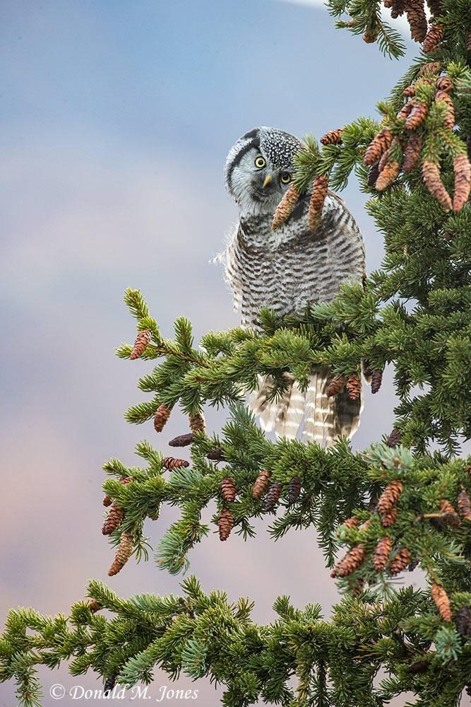 Northern-Hawk-Owl0196D