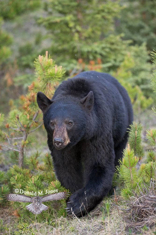 Black-Bear07087D