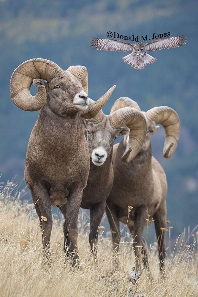 Bighorn-Sheep06130D