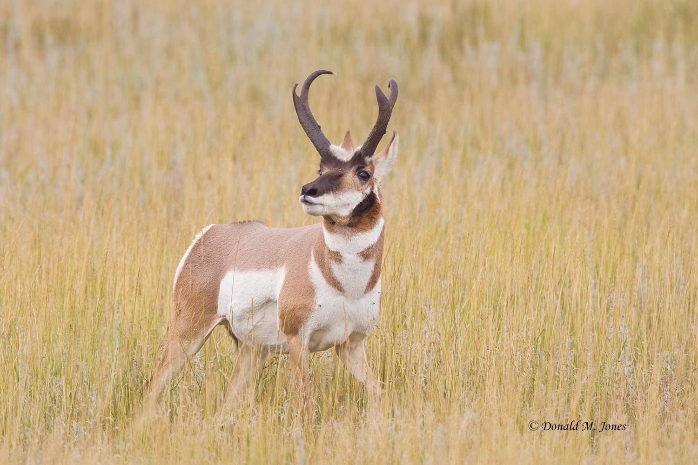 Pronghorn-Antelope03272D