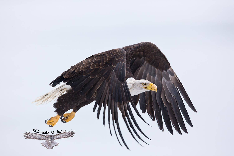 Bald-Eagle0855D