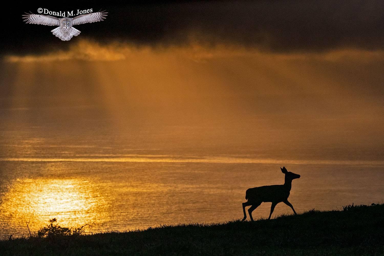Black-tailed-Deer0110D