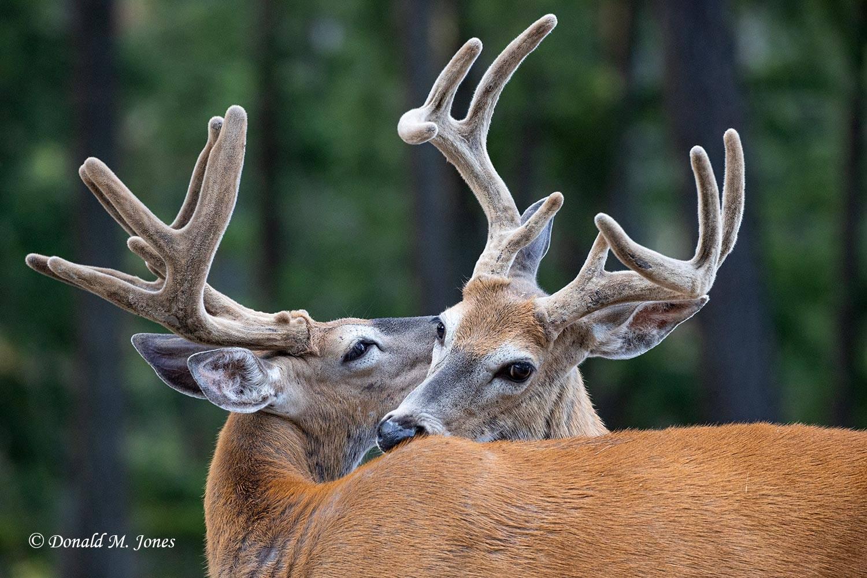 Whitetail-Deer61686D