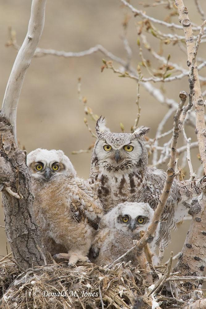 Great-Horned-Owl0177D