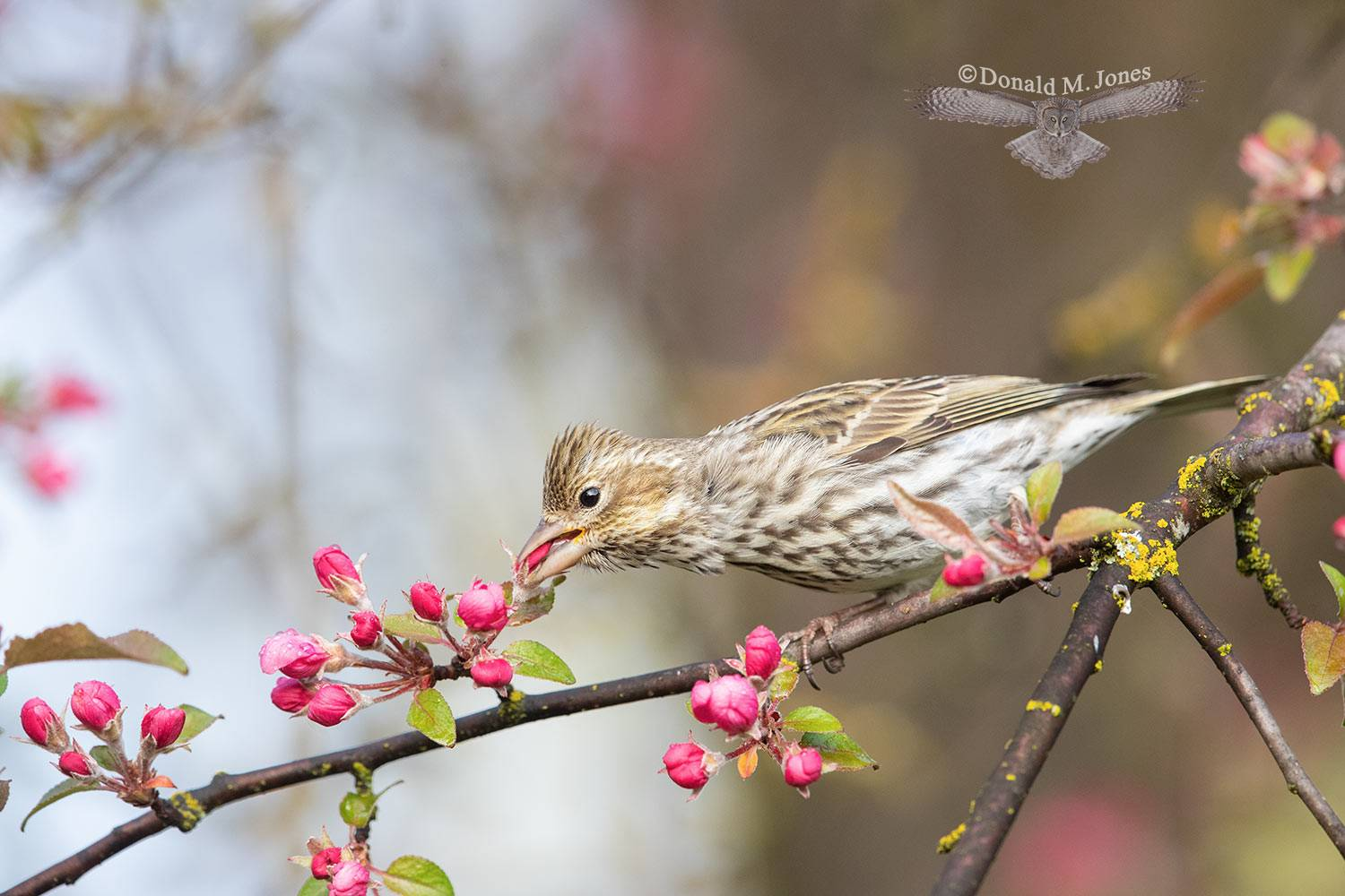 May 5 Female Cassin's Finch eating Crab-apple flower petals.