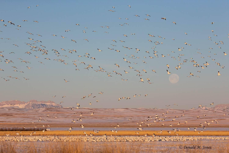 Snow-Goose2526D