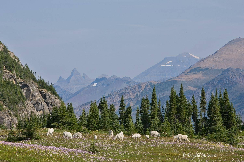 Mountain-Goat01964D