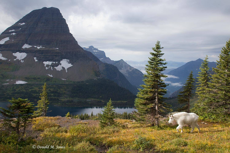 Mountain-Goat02167D