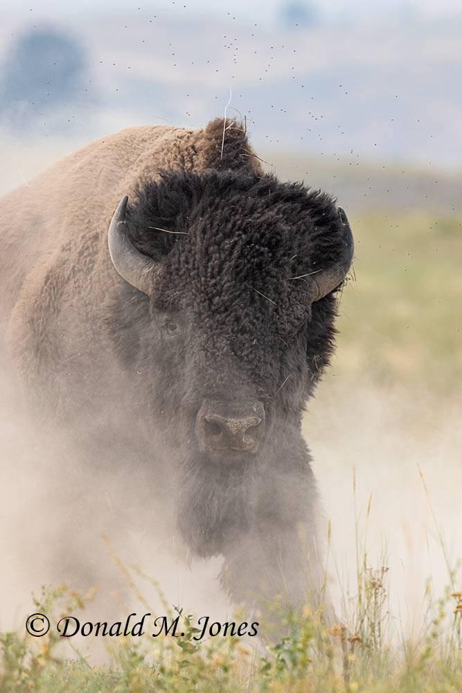 American-Bison03032D