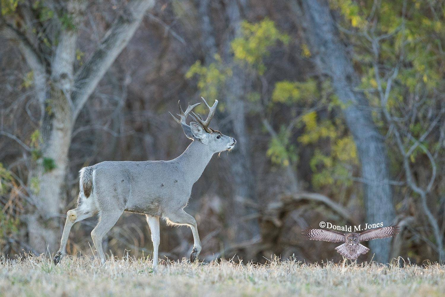 Coues-Whitetail-Deer1247D