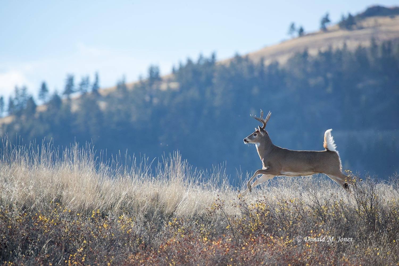 Whitetail-Deer53458D