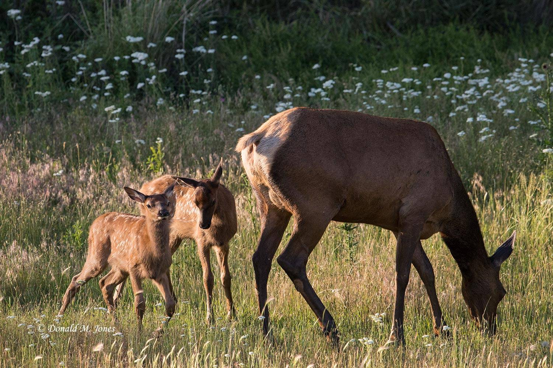 Elk-(Rocky-Mtn)24003D