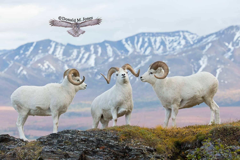 Dall-Sheep01943D
