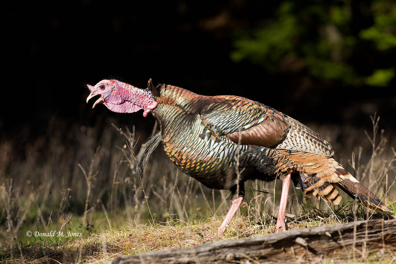 Wild-Turkey-(Merriams)12158D