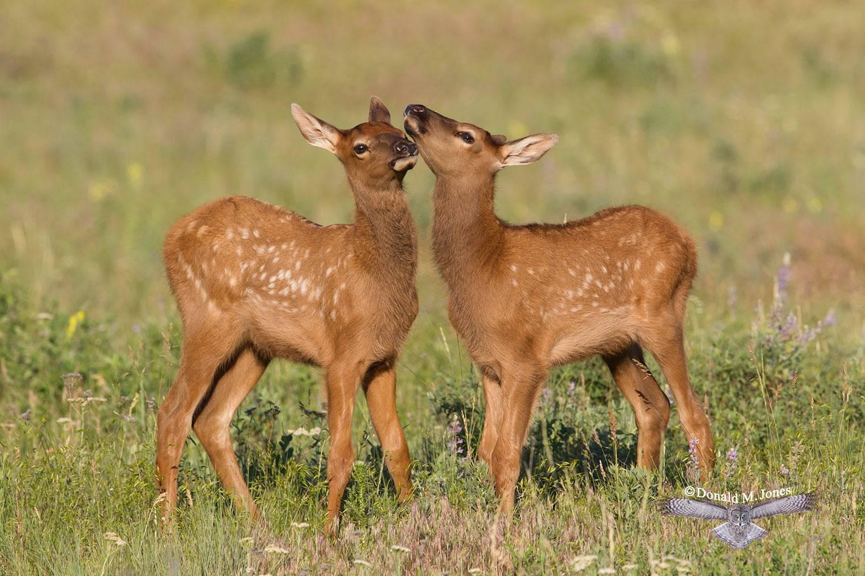 Elk-(Rocky-Mtn)21445D