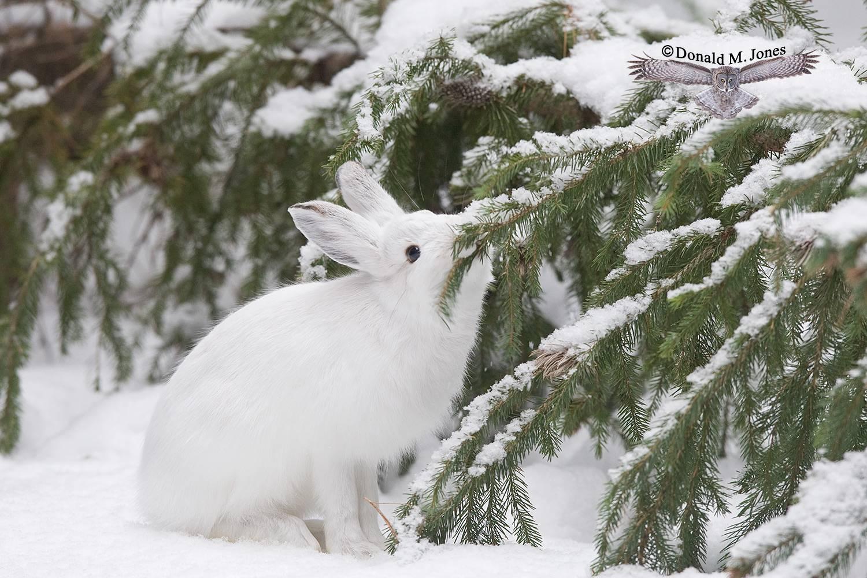 Snowshoe-Hare0151D