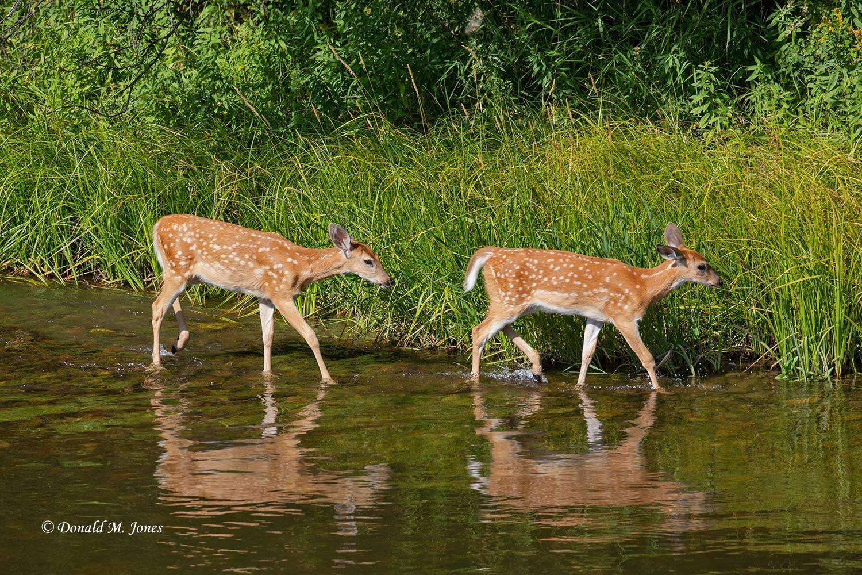 Whitetail-Deer59065D