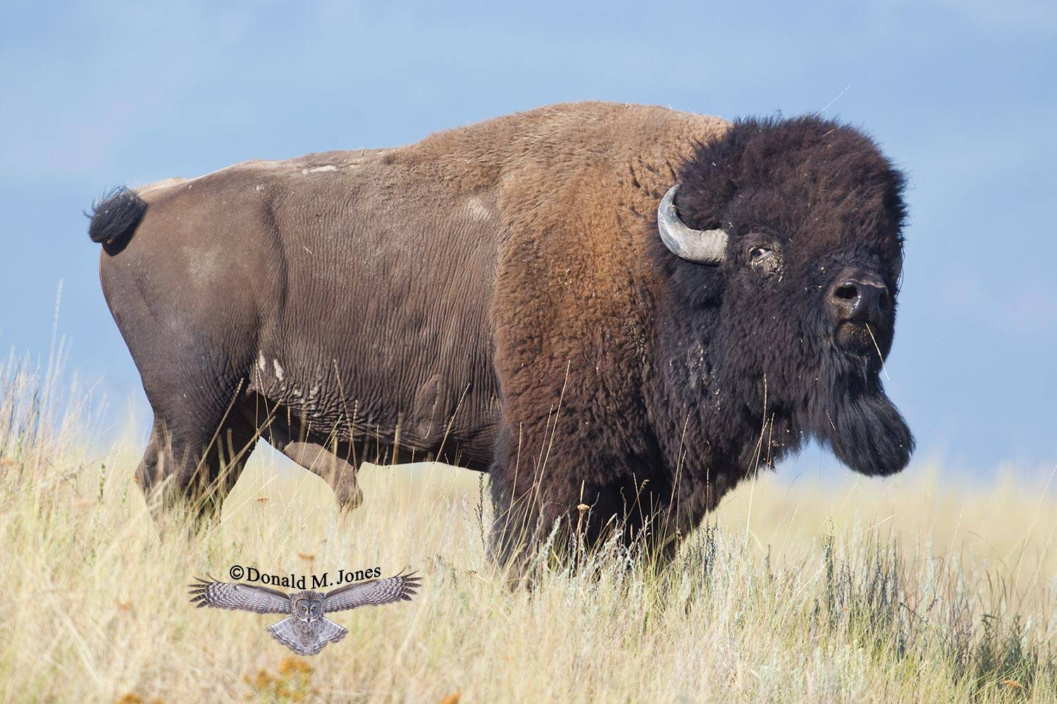 American-Bison1569D