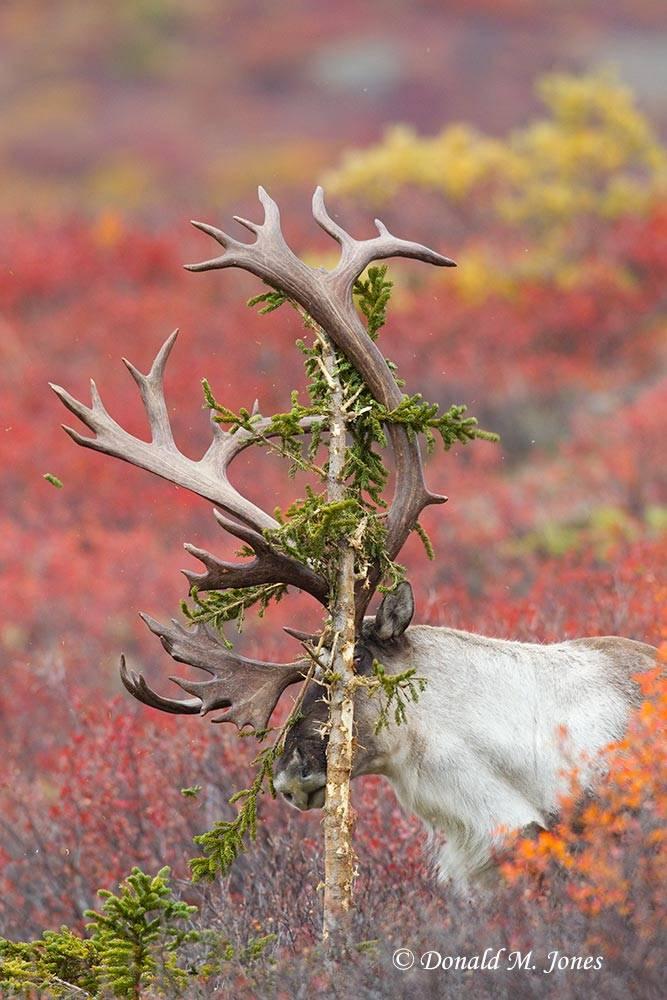 Barren-Ground-Caribou02303D
