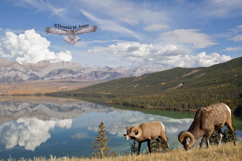 Bighorn-Sheep05183D