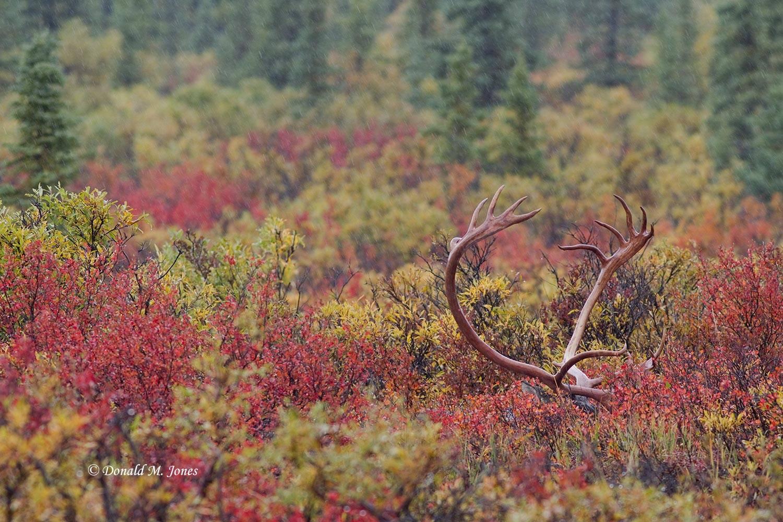 Barren-Ground-Caribou02497D