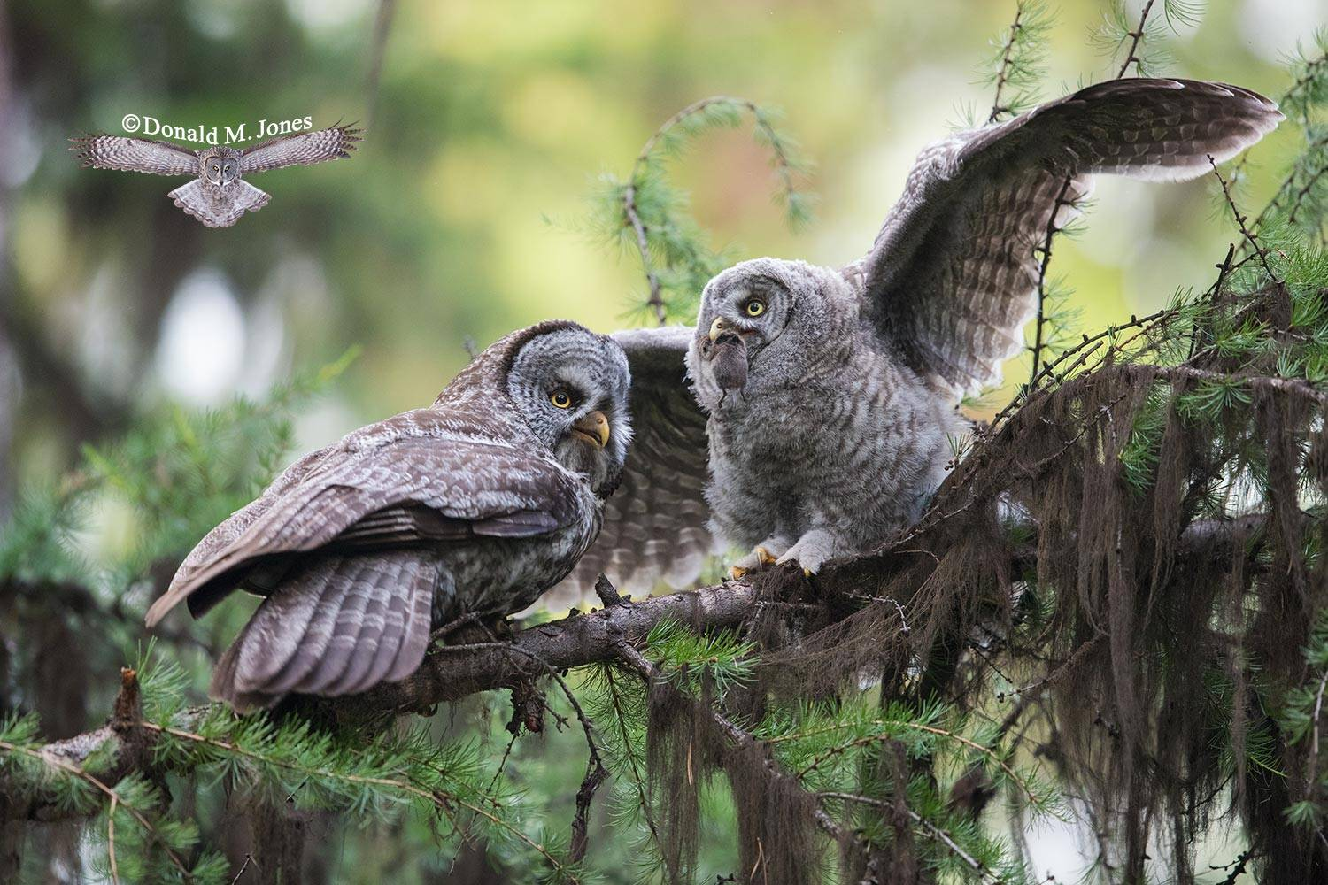Great-Gray-Owl1076D