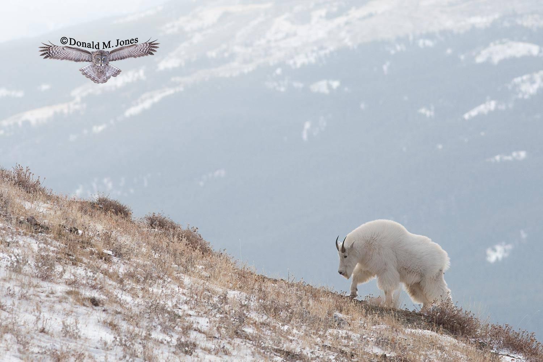 Mountain-Goat02200D