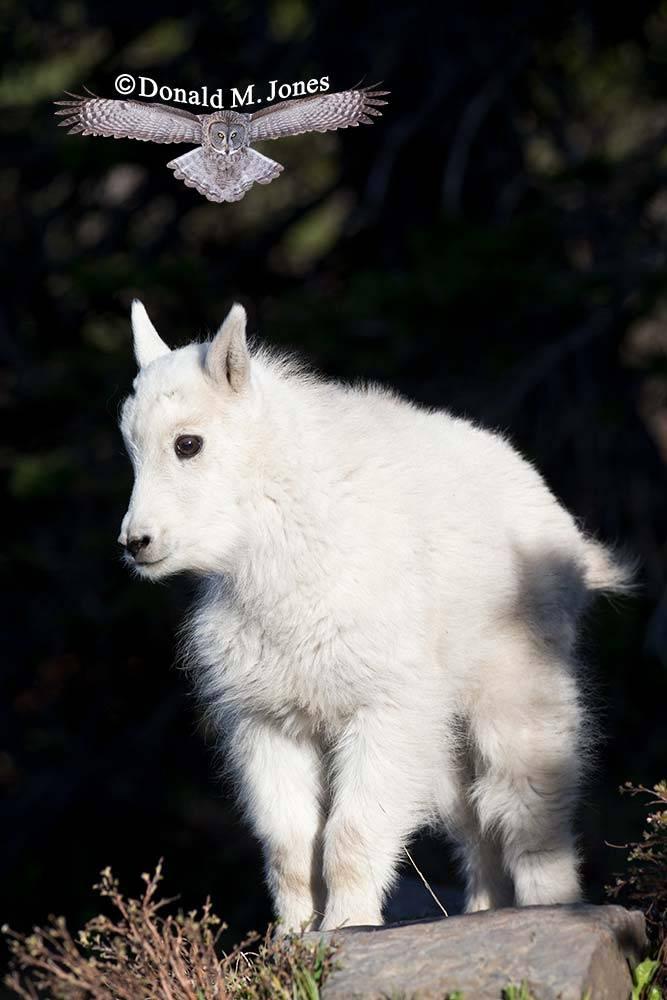 Mountain-Goat02573D