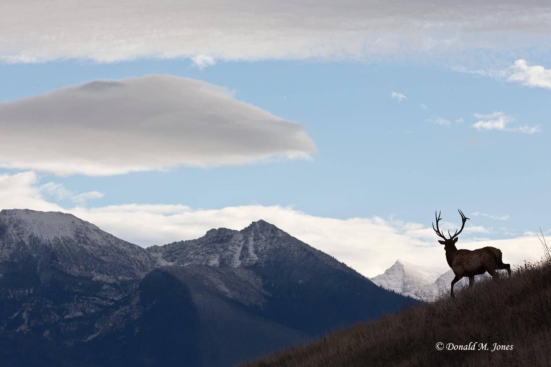 Elk-(Rocky-Mtn)19342D