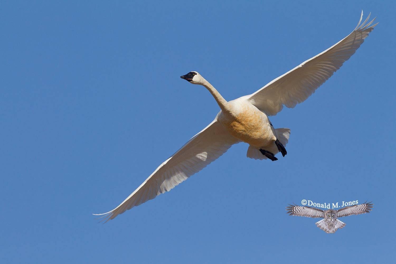 Tundra-Swan0243D