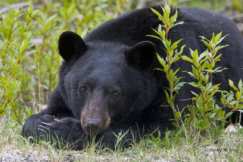 Black-Bear04826D