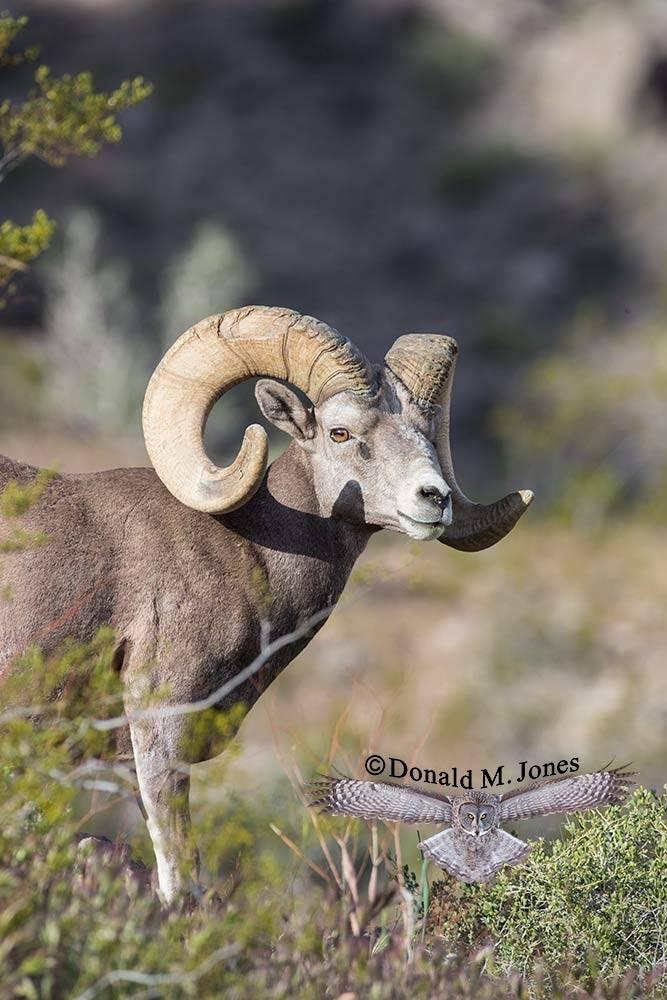 Desert-Bighorn-Sheep00999D