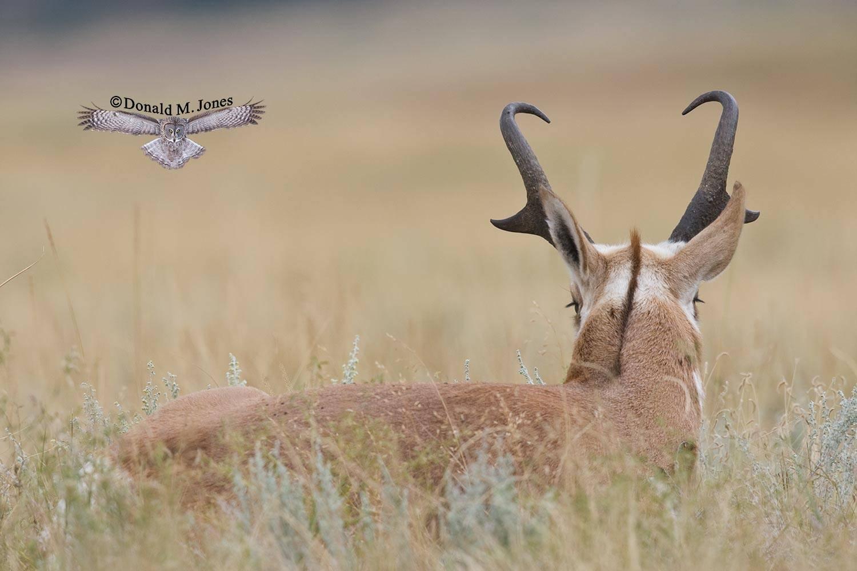 Pronghorn-Antelope03065D