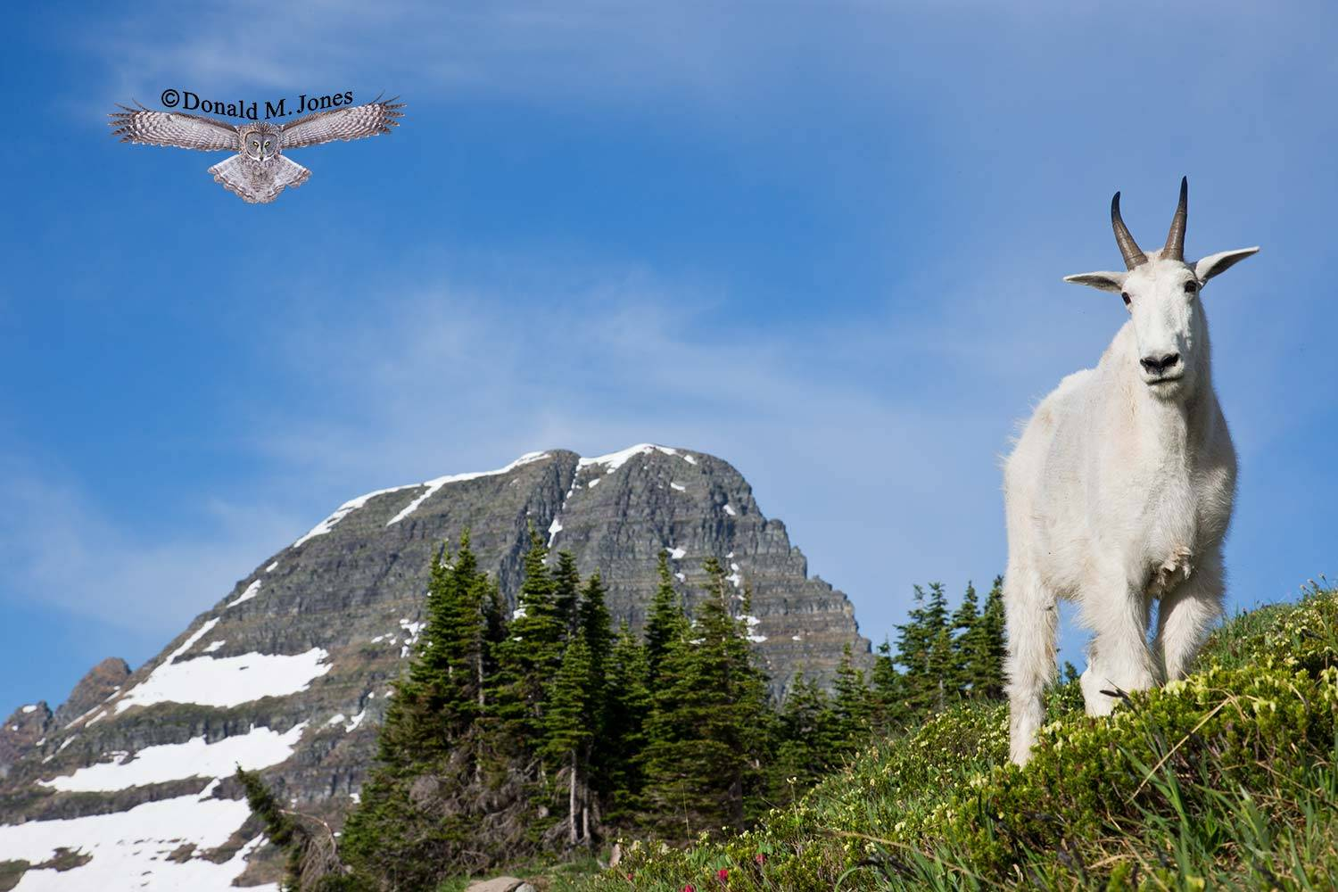 Mountain-Goat02493D