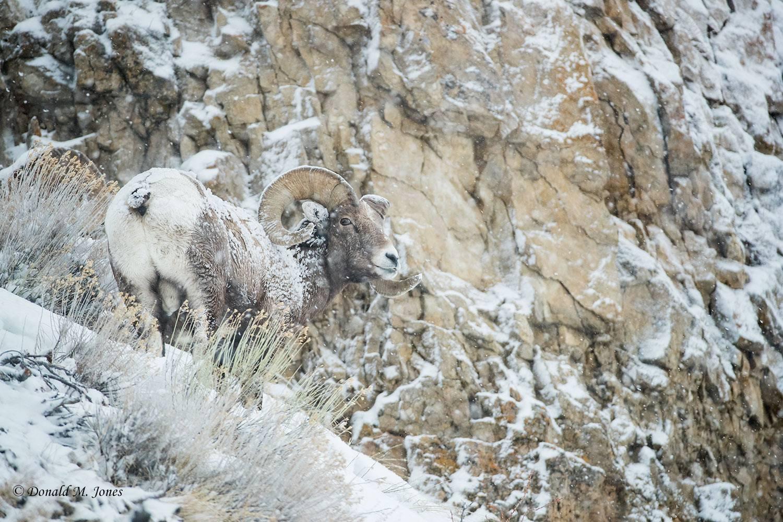 Bighorn-Sheep05920D