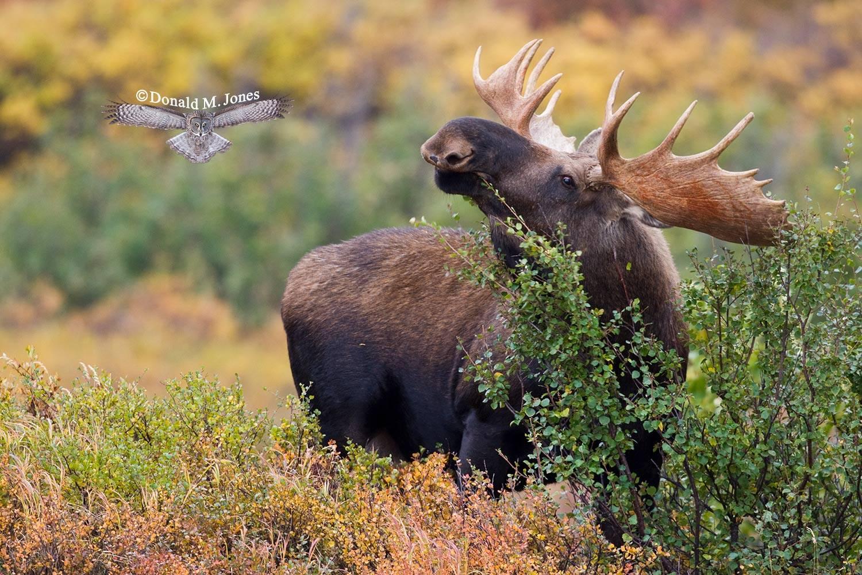 Moose03311D
