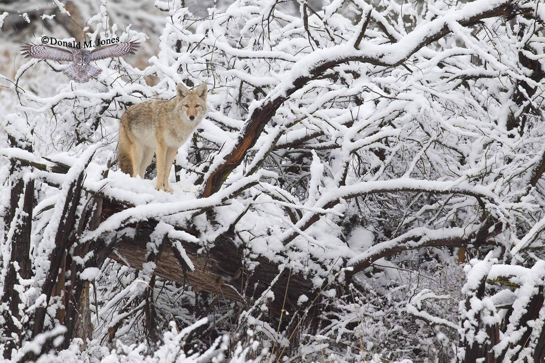 Coyote2248D