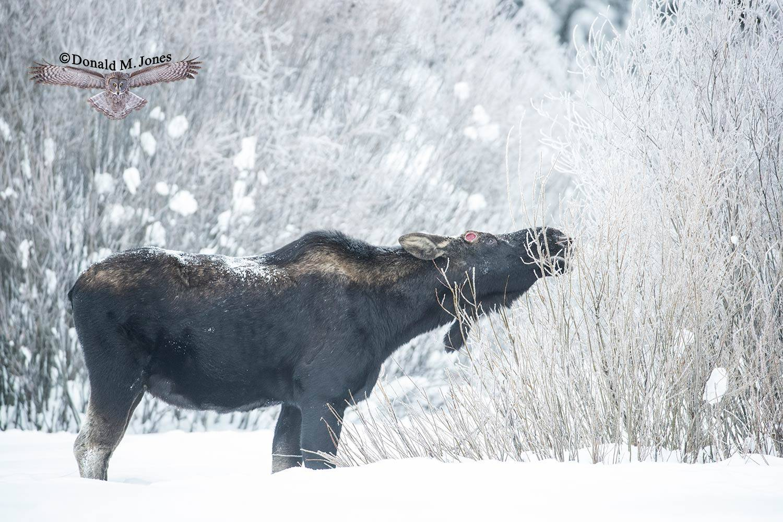 Moose06329D