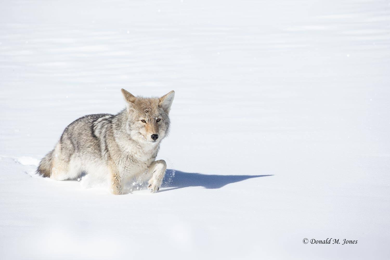 Coyote2788D