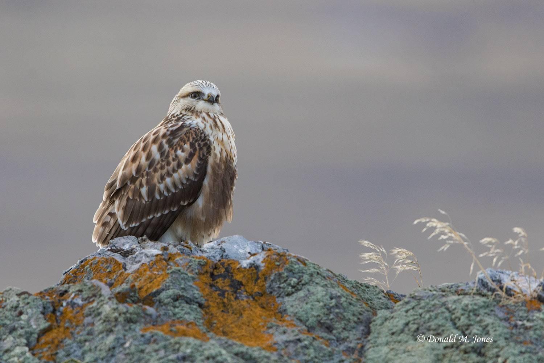 Rough-legged-Hawk0135D