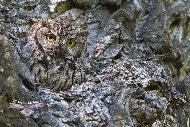 Western-Screech-Owl0113D