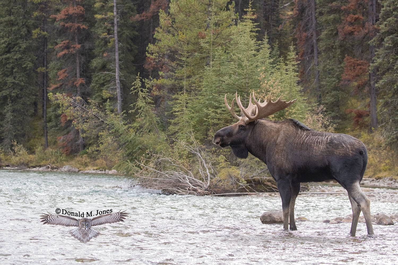 Moose06517D