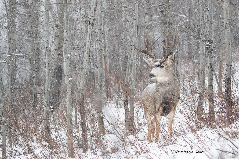 Mule-Deer12720D.jpg