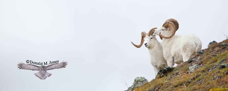 Dall-Sheep01735D